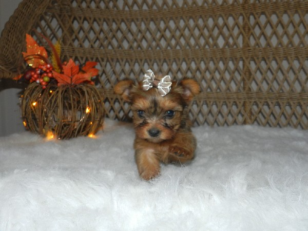 Precious Yorkie Puppies For Sale * Teacup Puppies,Tiny