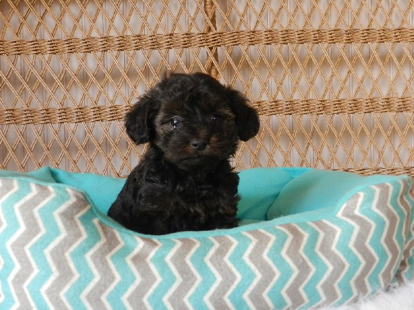 Precious Yorkie Puppies For Sale Teacup Puppiestiny Teacup Poodle